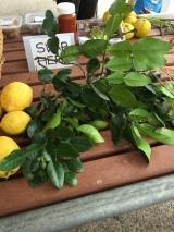 kaffir_lime_leaves