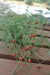 asparagus_seeds