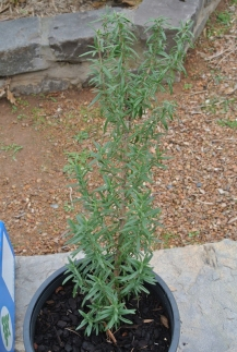 potted_rosemary