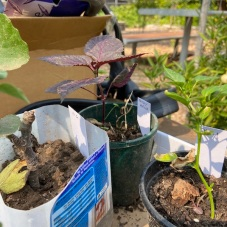 potted_purple_shiso
